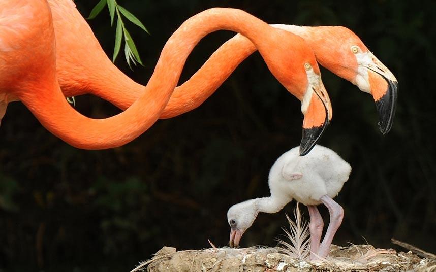 Три-недельные фламинго в зоопарке в графстве Бедфордшир