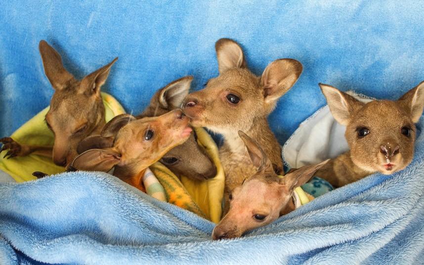 Осиротевшие кенгурята в центре дикой природы Виктория в Мельбурне