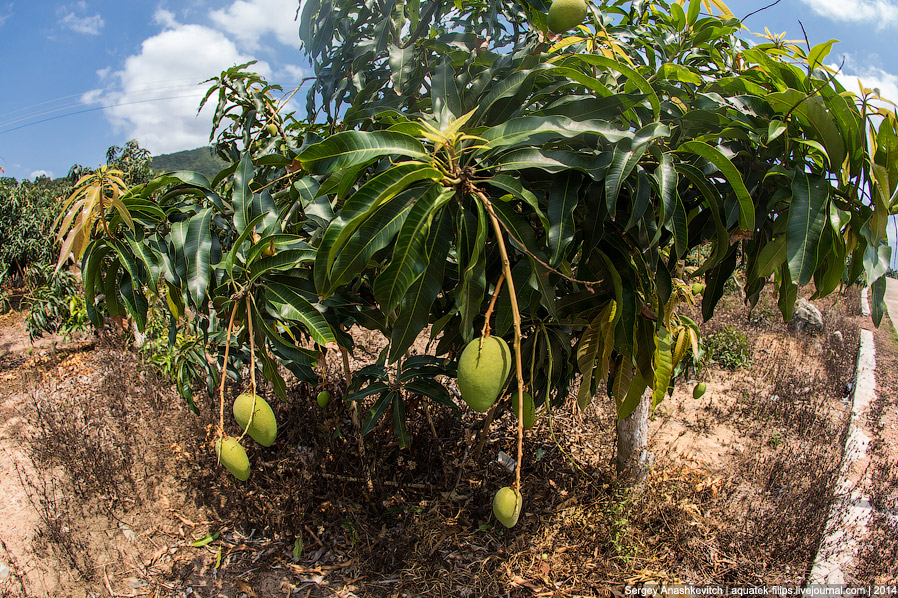 Как растут бананы
