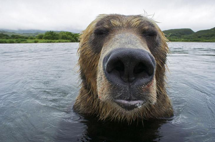 Медведь-рыболов с Камчатки
