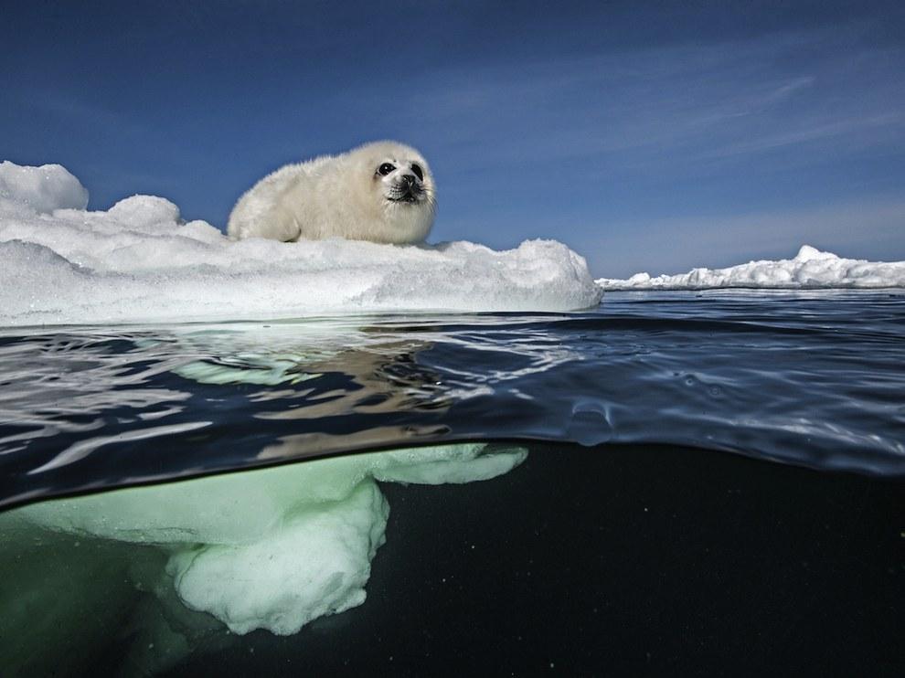 Детеныш тюленя, Канада