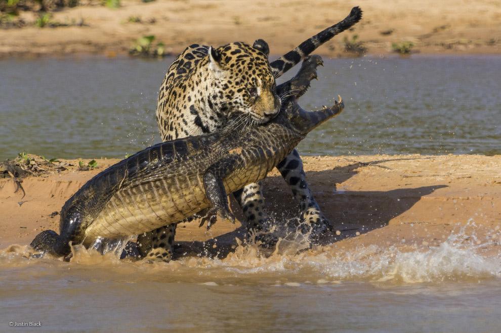 Ягуар против небольшого крокодила