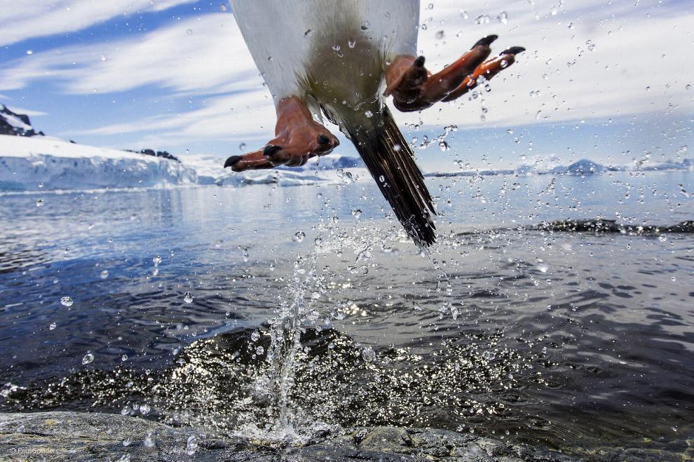 Выскочка-пингвин