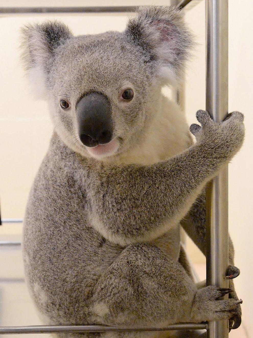Этот коала прицепился к дну автомобиля и чудом выжил на оживленной австралийской автостраде после 88-километрового путешествия