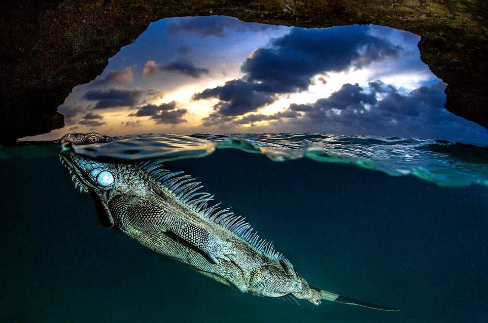 Зеленая игуана изящно плывет в пещере на закате около карибского острова Бонайре