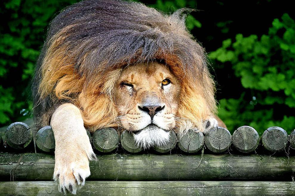 На самом деле просто лев попал под дождь