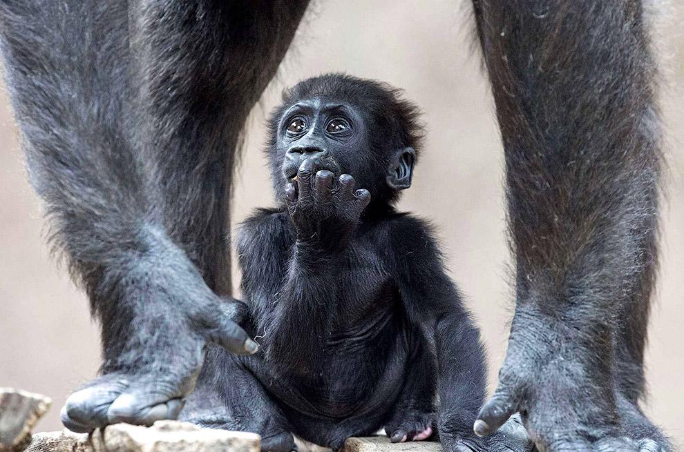 Маленькая горилла с матерью в зоопарке в Лейпциге, Германия