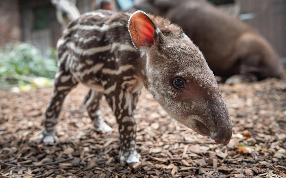 Крошечный тапирчик в зоопарке