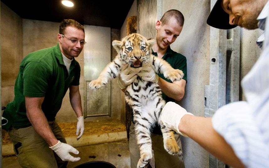 Осмотр новорожденного амурского тигра в зоопарке в Нидерландах