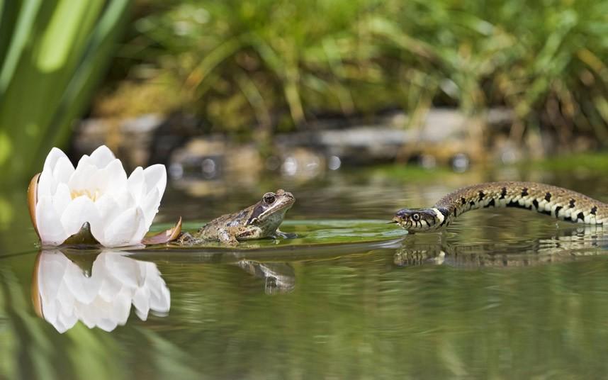 Лягушка на лилии и охотящийся на ее уж