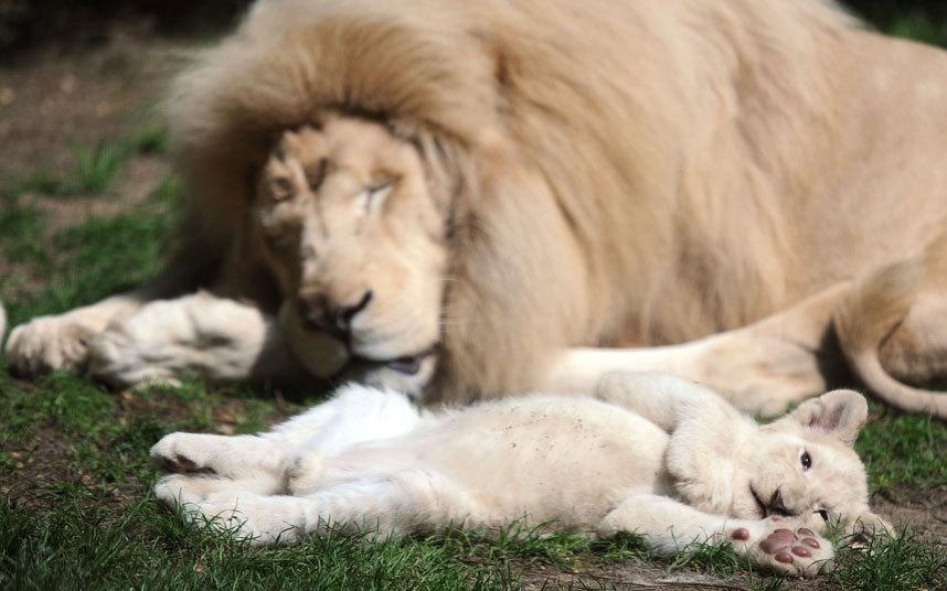 13-недельный львенок с отцом в зоопарке в западной Франци
