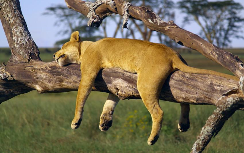 Львица. Сончас в национальном парке Серенгети, Танзания