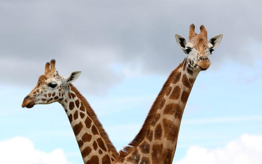 Или просто жираф Ротшильда со своей новой подругой.