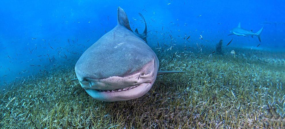Тигровая акула  на Багамах
