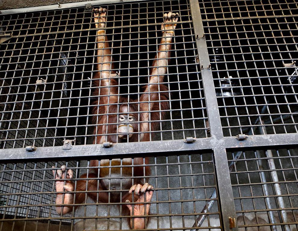 Орангутанг в клетке в торговом центре в Бангкоке, Таиланд