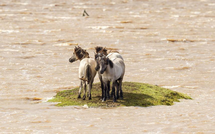 Вода поднялась, и 4 лошади оказались зажатыми на маленьком островке