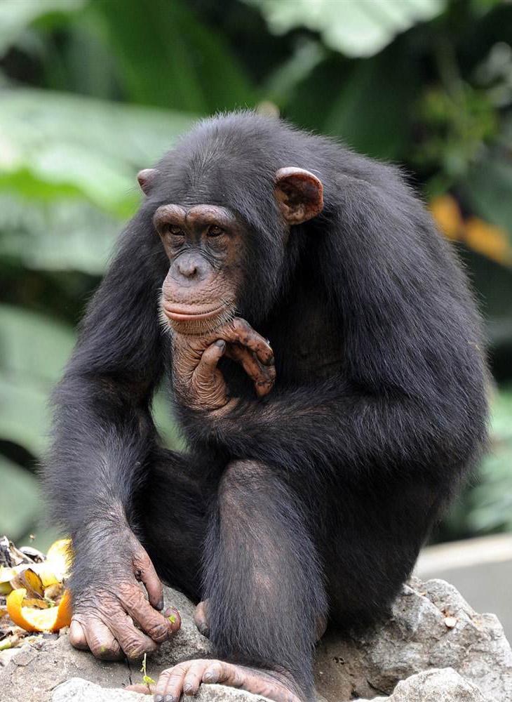 Шимпанзе в зоопарке в Абиджане, Кот-д'Ивуар