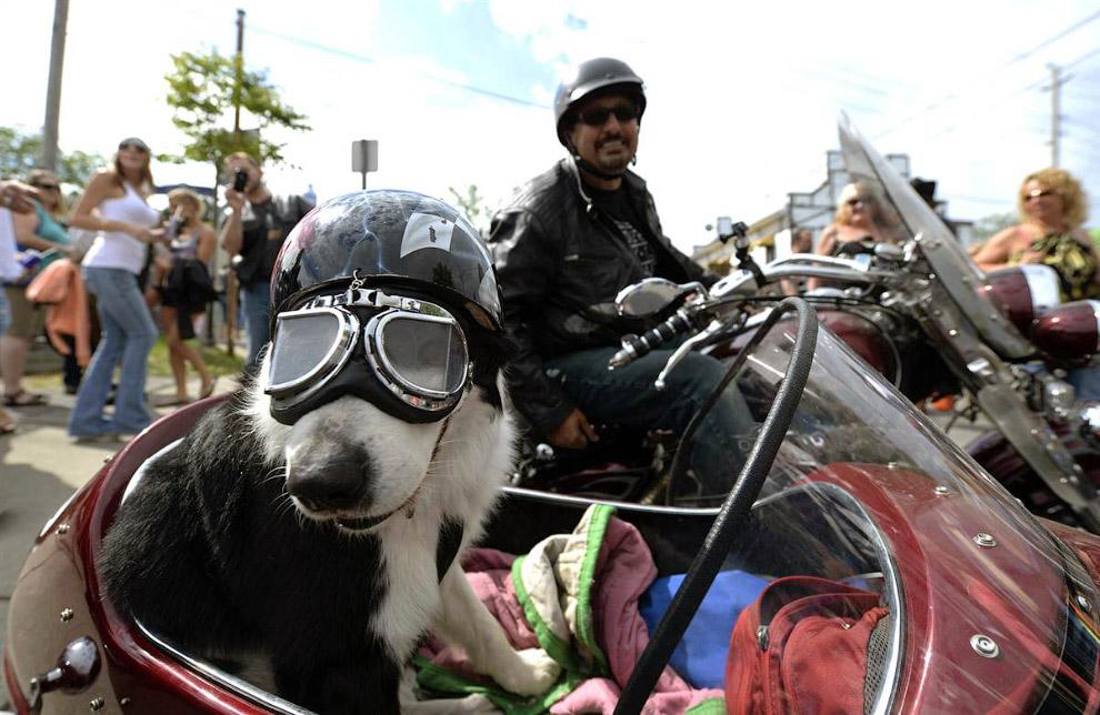 Верный пес байкера из Онтарио, Канада