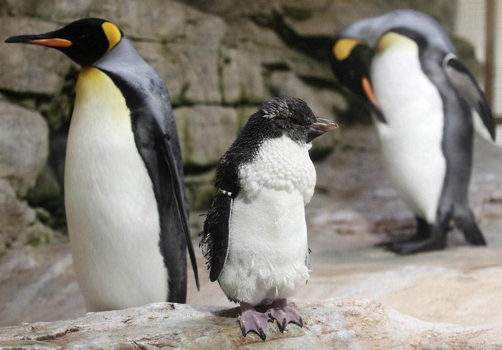 Семья королевских пингвинов в зоопарке в Вене