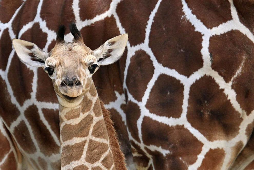 Недавно родившийся в зоопарке в Чехии жираф познает мир