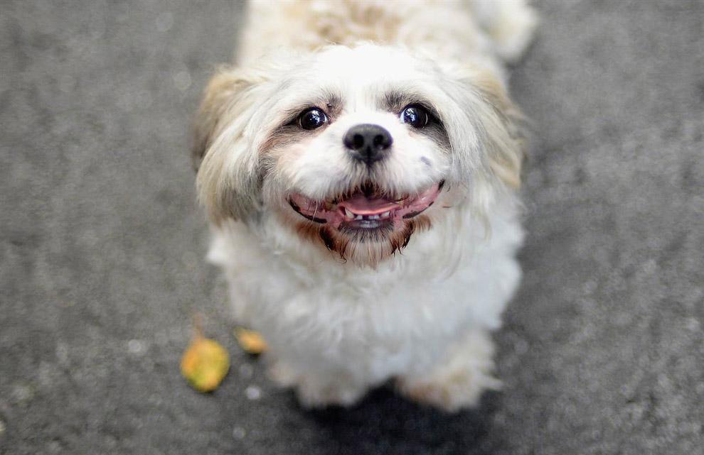 Добродушная собака на выставке в Нью-Йорке