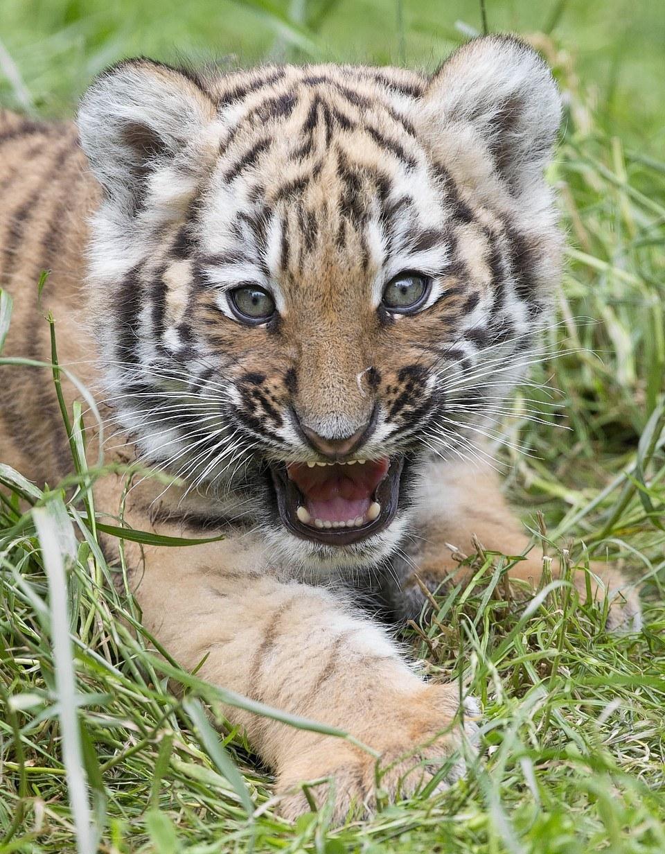 Крошечный тигр