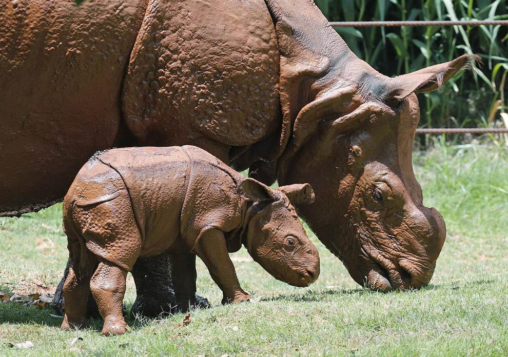 Семья носорогов в зоопарке в Оклахома-Сити