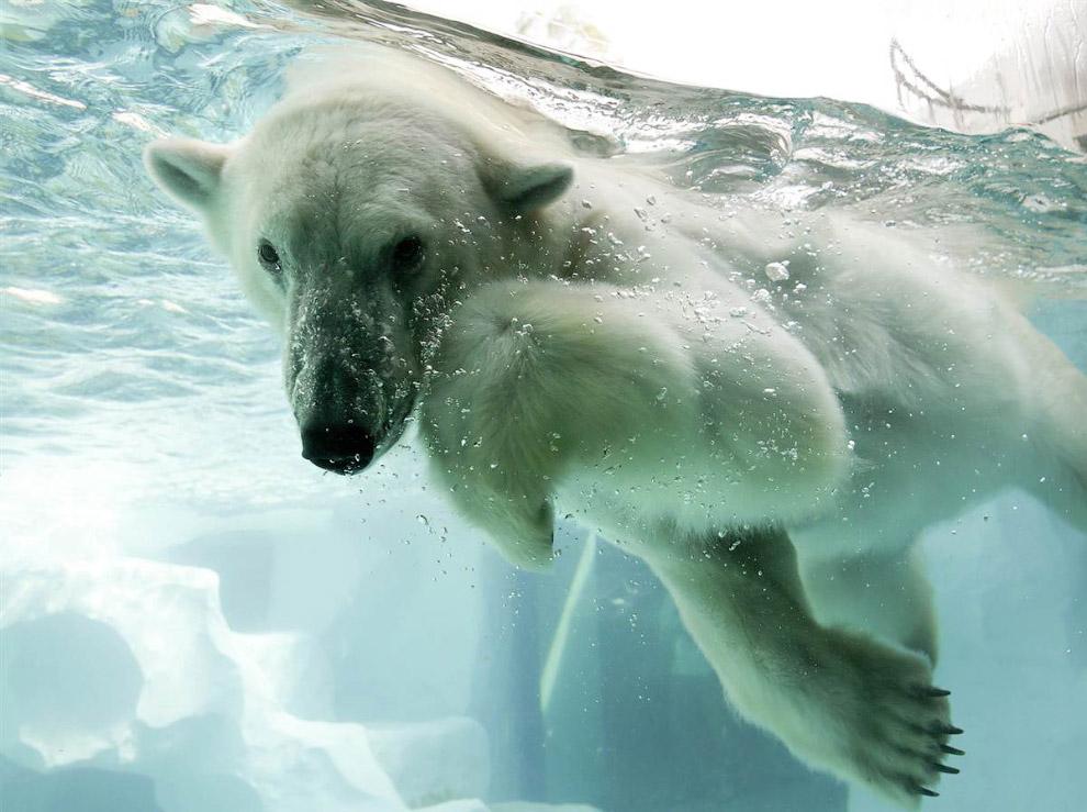 Так выглядит белый медведь под водой