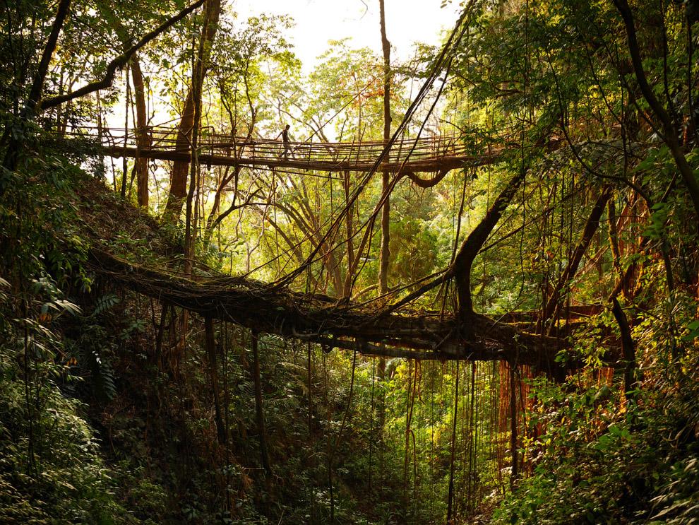 Это они, знаменитые «живые мосты»
