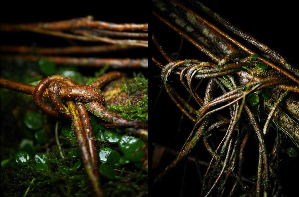 Тонкие корни деревьев, которые местные жители завязывают узелками, чтобы укрепить «живые мосты»