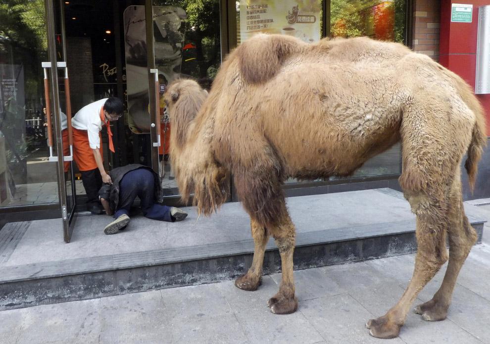 Новая тенденция в провинции Чжэцзян — нищие с верблюдами, которые просят милостыню в сфере услуг
