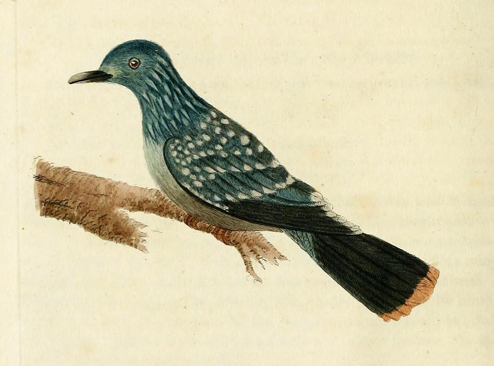 Пятнистый зеленый голубь