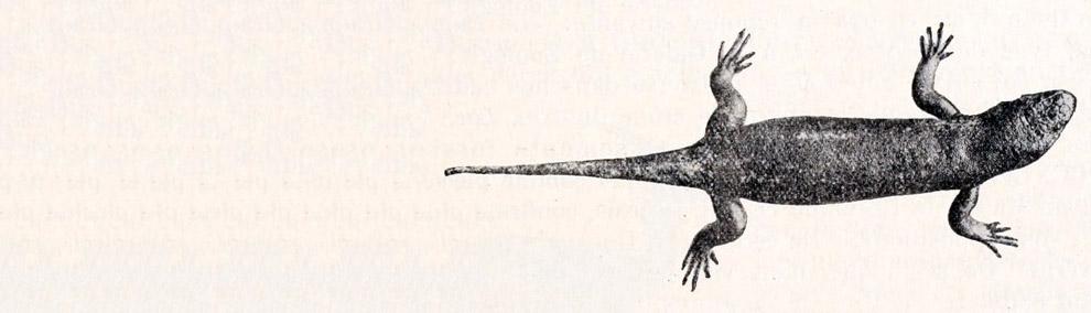 Кабовердеский гигантский сцинк