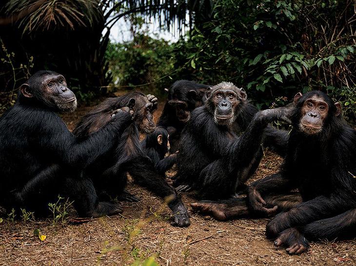 Шимпанзе — первое из 10 самых умных животных на Земле по версии Animal Planet