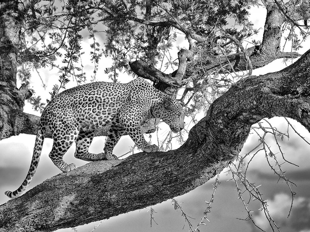 Леопард осторожно идет по ветке акации в национальном парке Танзании