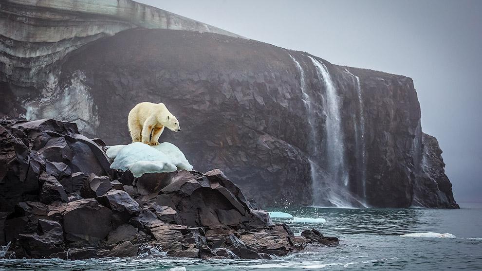 Белый медведь стоит на страже на острове Рудольфа в Северном Ледовитом океане