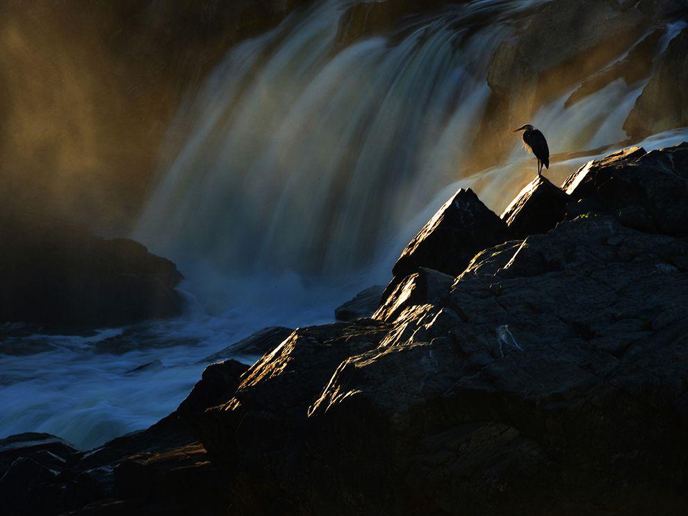 Цапля ловит последние лучи заходящего солнца в штате Мэриленд