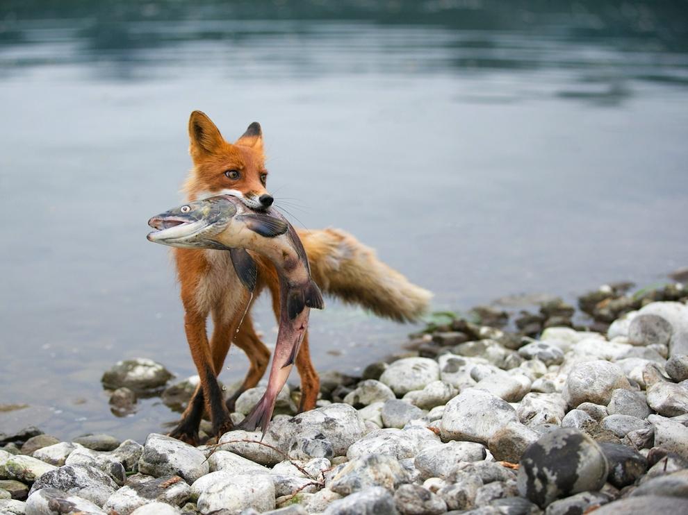 Лисица с добычей, Камчатка