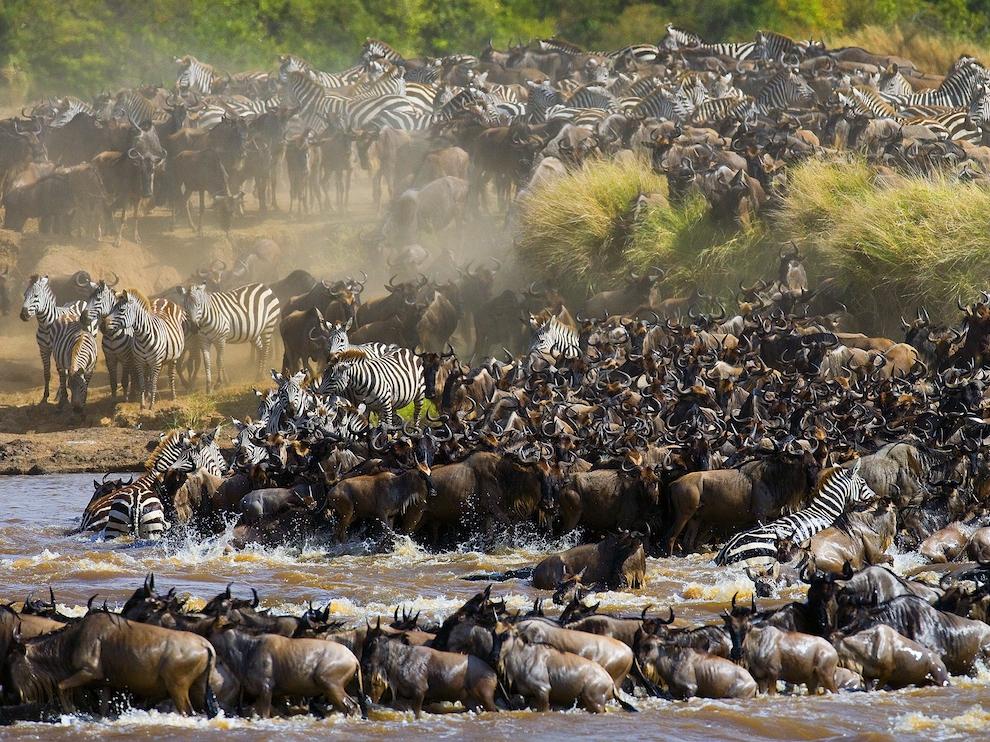 Почти два миллиона антилоп гну и зебр ежегодно пересекают равнины Серенгети и Масаи-Мара