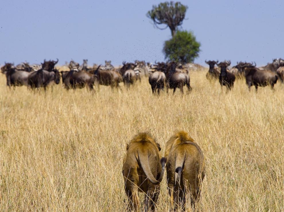 Африканские львы на охоте