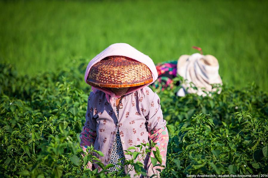 Как выращивают перцы чили