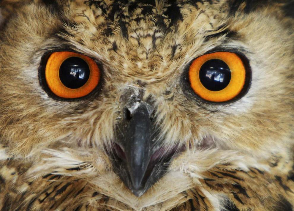 Портрет совы в зоопарке Иордании