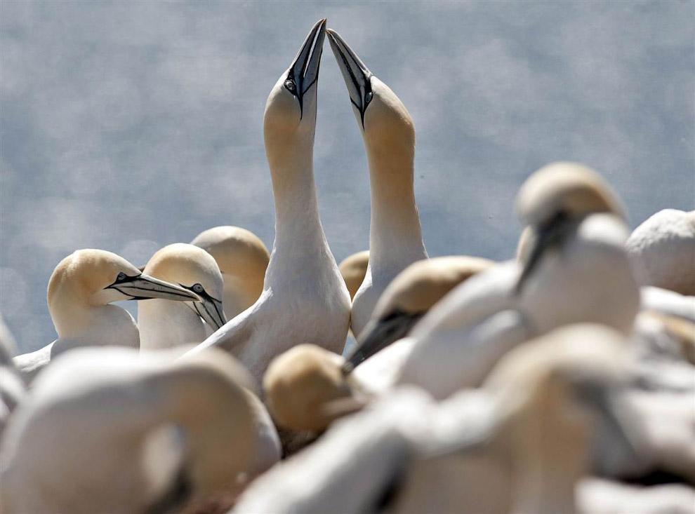 Бакланы на гнездовании в канадской провинции Квебек