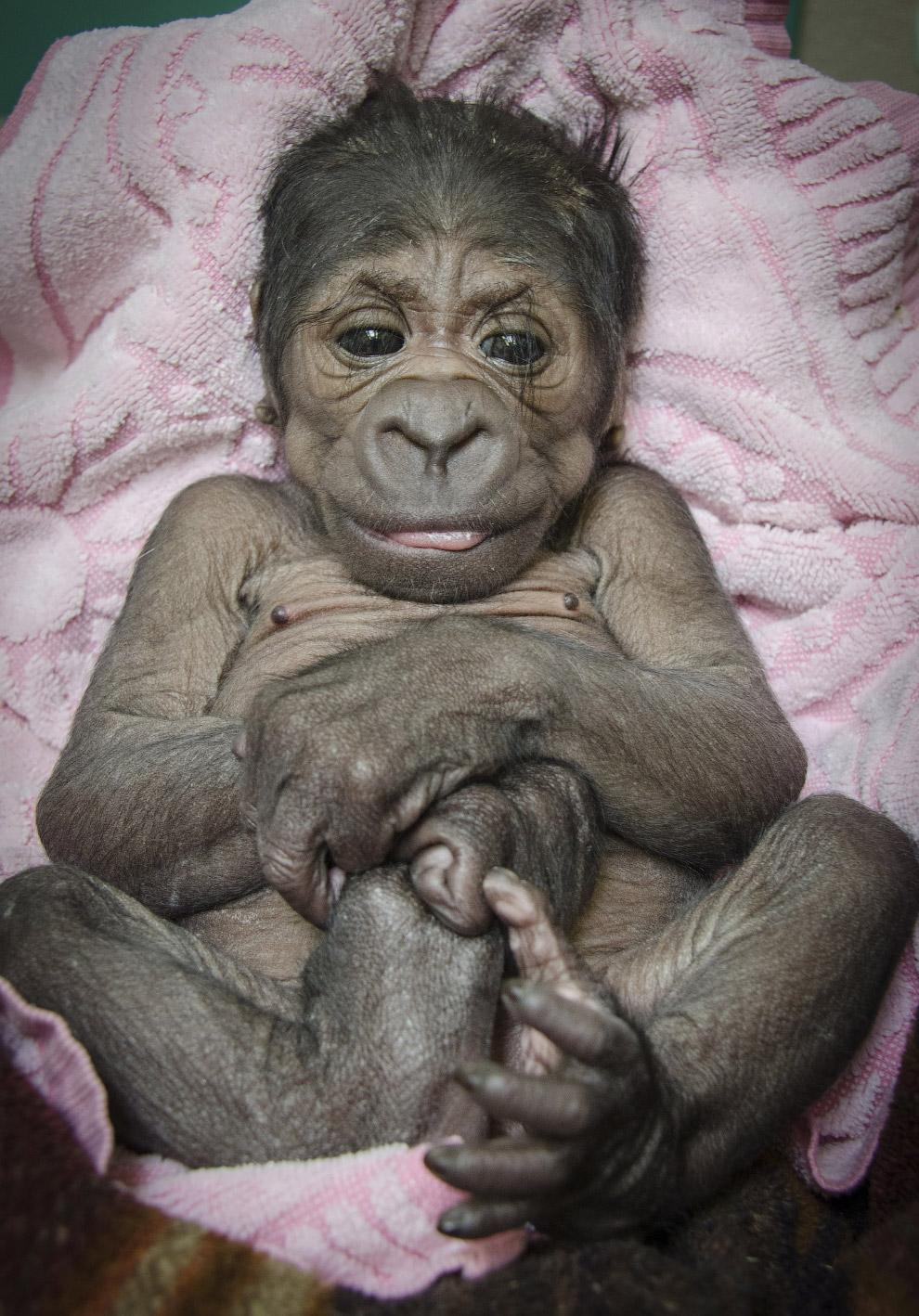 Маленькая горилла в зоопарке в Оклахоме
