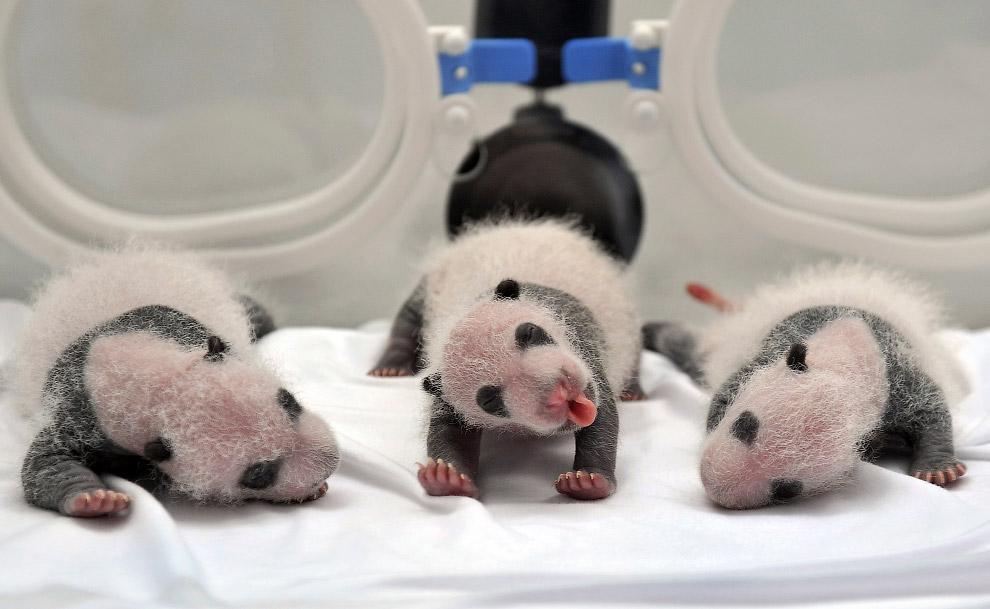 Новорожденные гигантские панды в в сафари-парке в Гуанчжоу, Китай