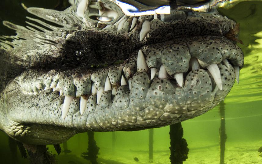 Крокодил в Национальном морском парке, Куба