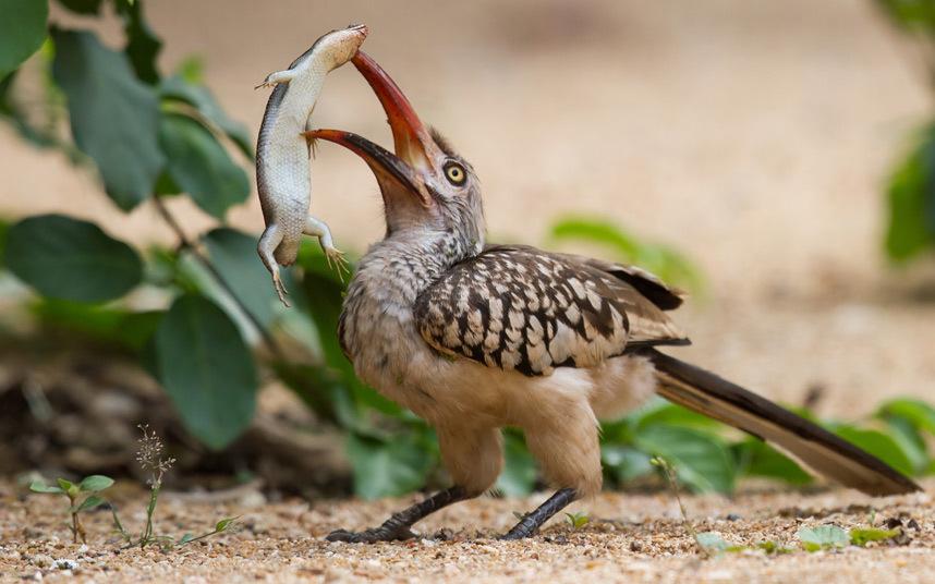 Токи — птица