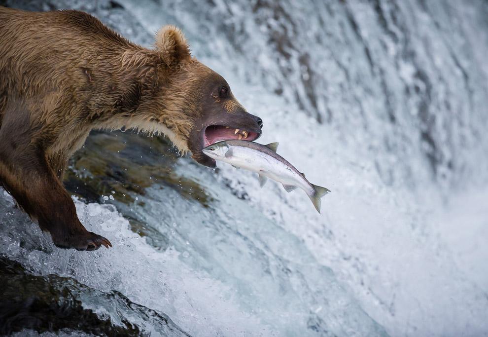 Медведь рыбачит в национальном парке Катмай на Аляске