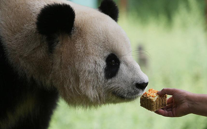 Гигантская панда в Парке диких животных Юньнань, Китай