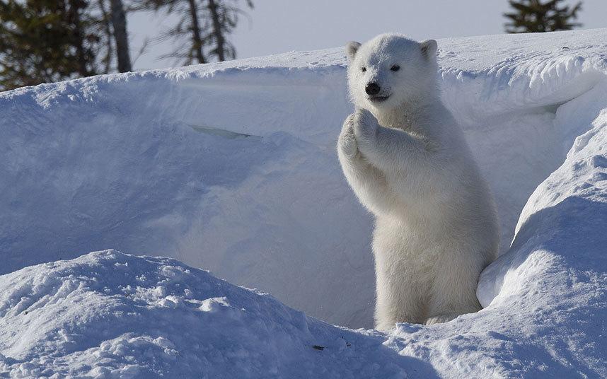 Белый медвежонок в национальном парке в Канаде